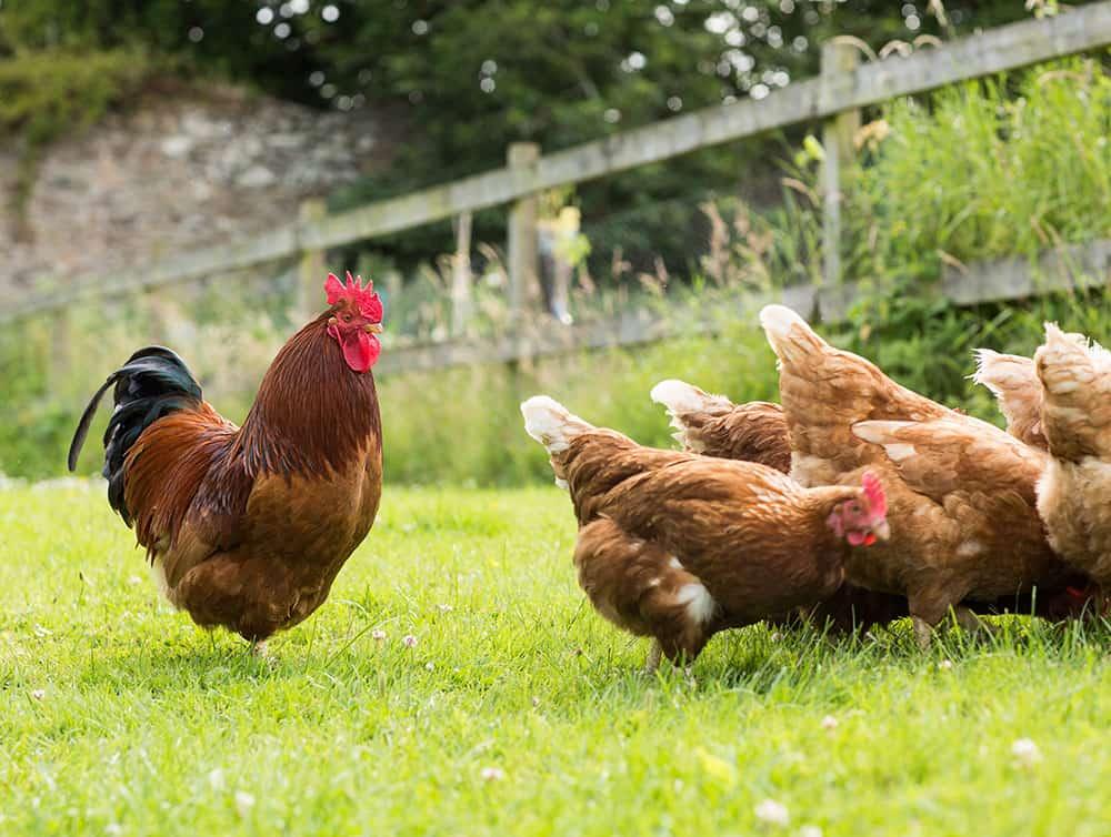 Raising chickens off grid