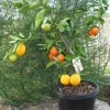 5 FRUITS 1 PLANT! Check Out The Crazy Fruit Salad Tree