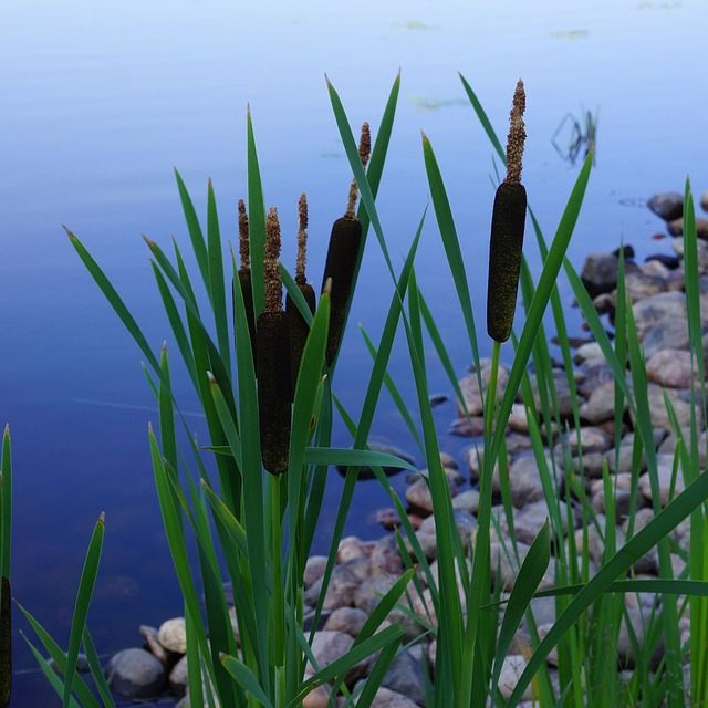 4 Ways To Use The Incredible Cattail For Survival Off