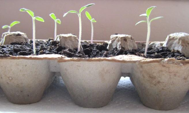 Egg carton seed starter pots