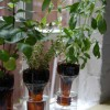 DIY Self-Watering Wine Bottle Herb Garden
