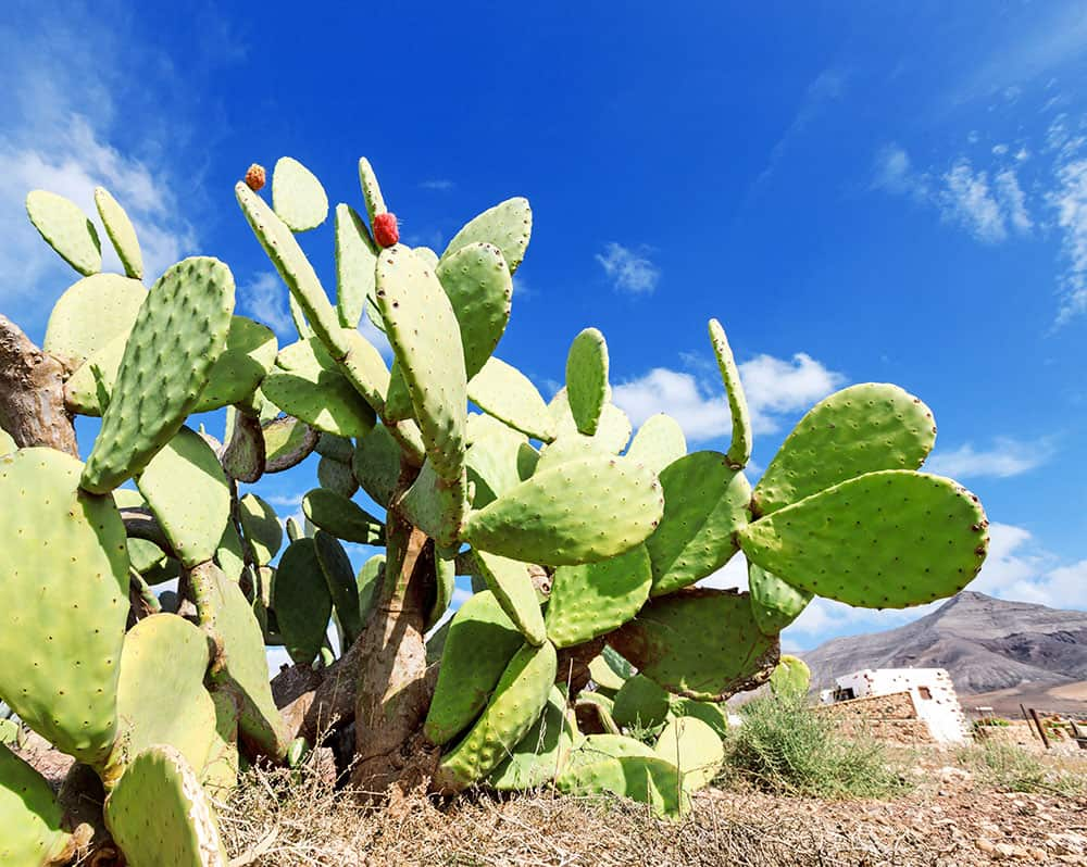 Prickly pear cactus for survival
