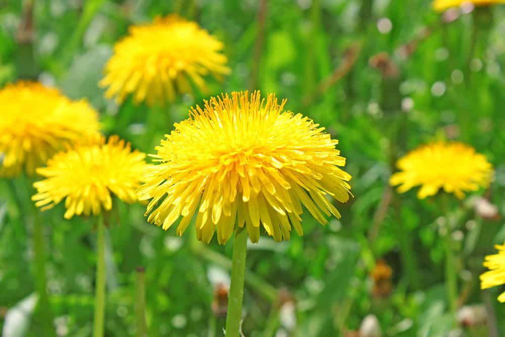 Dandelion is an edible wild plant
