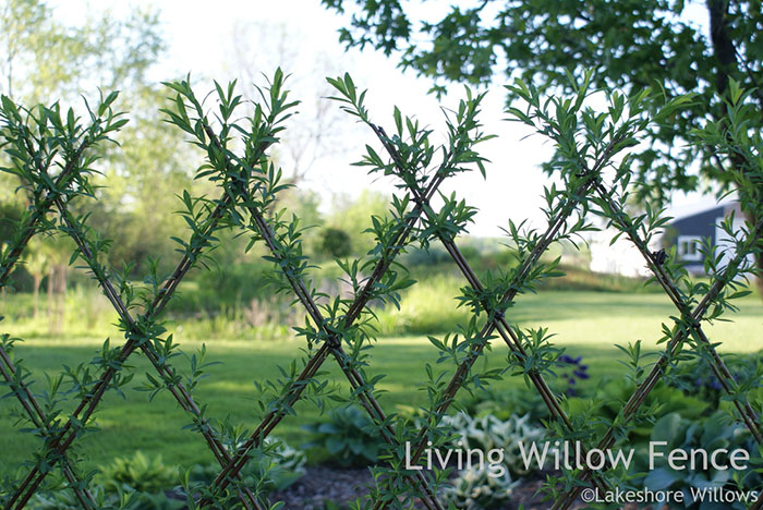 living-willow3