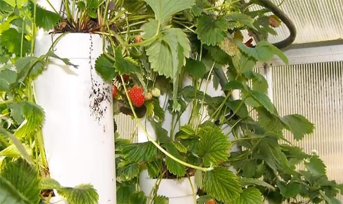 strawberry-tower7