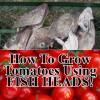 Grow Tomatoes Using Fish Heads and Aspirin – REALLY!
