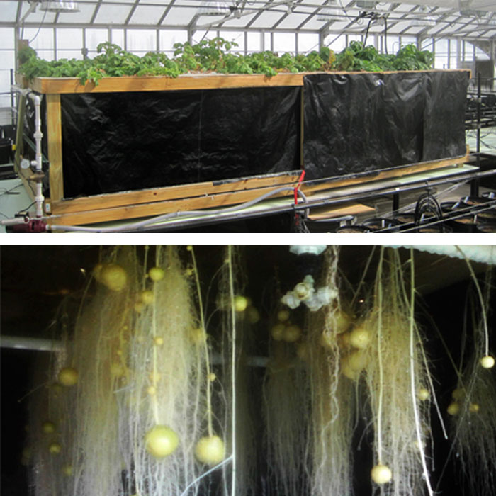 Growing aeroponic potatoes