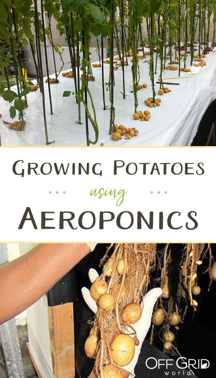 Aeroponic potatoes