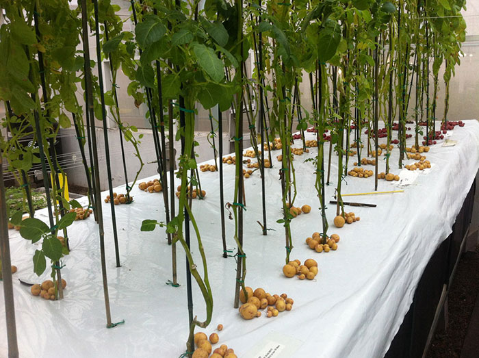Growing Potatoes in Thin Air with Aeroponics