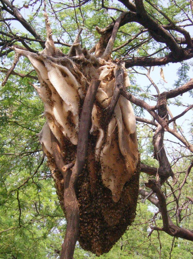 how to catch wild honey bees