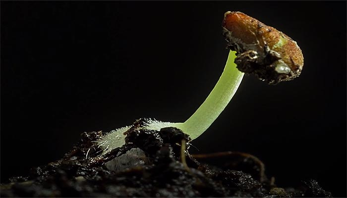 Seed sprouting germination video