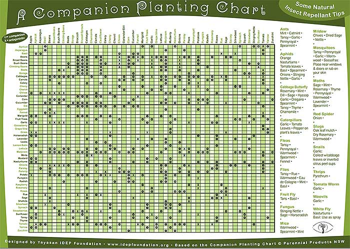 companion planting chart permaculture design