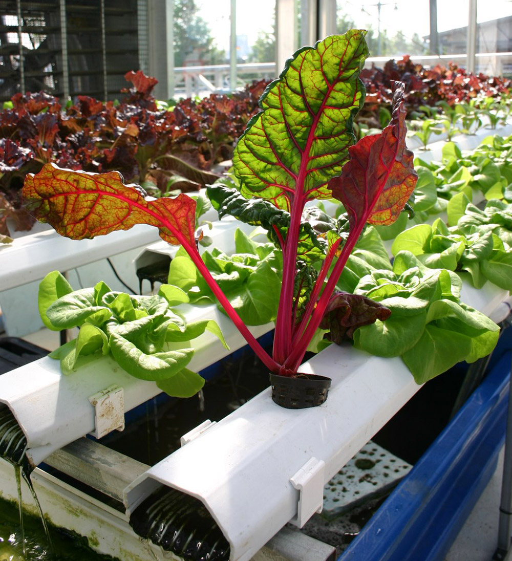 aquaponic growing