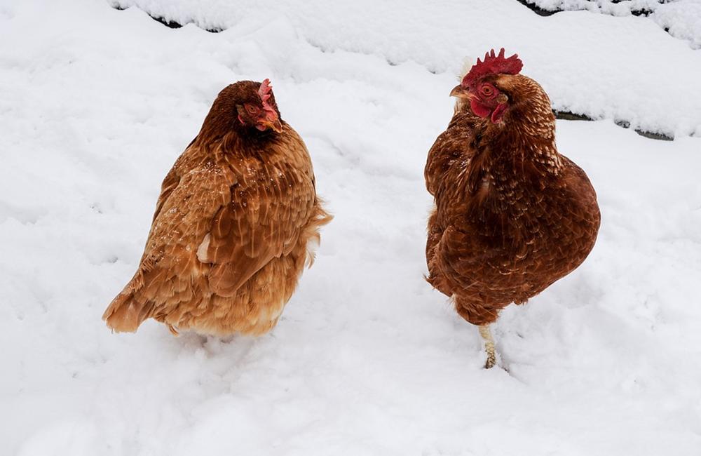 Off grid ways to keep chickens warm in winter