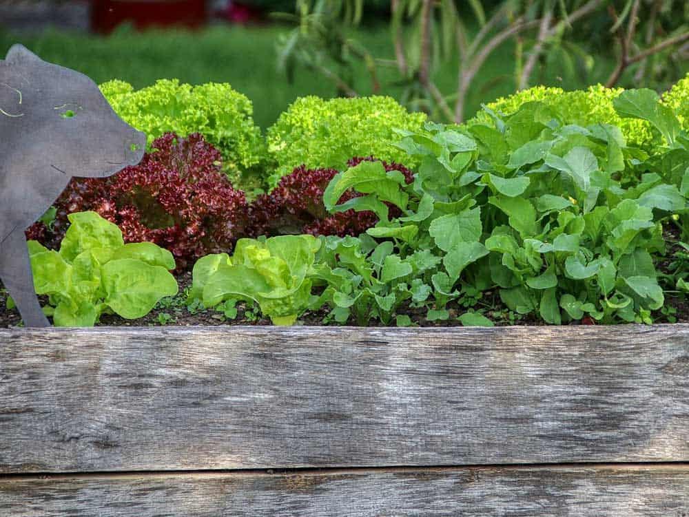 Fast growing lettuce