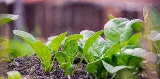 fastest growing vegetables