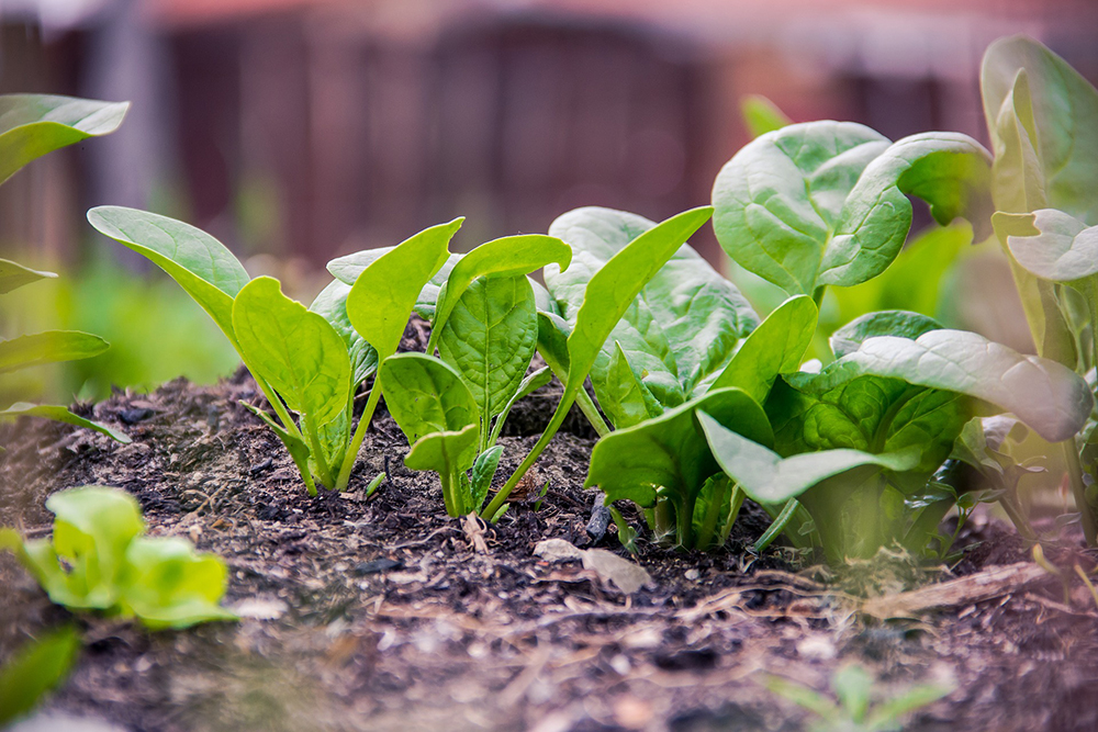 Spinach is a fast growing vegetable