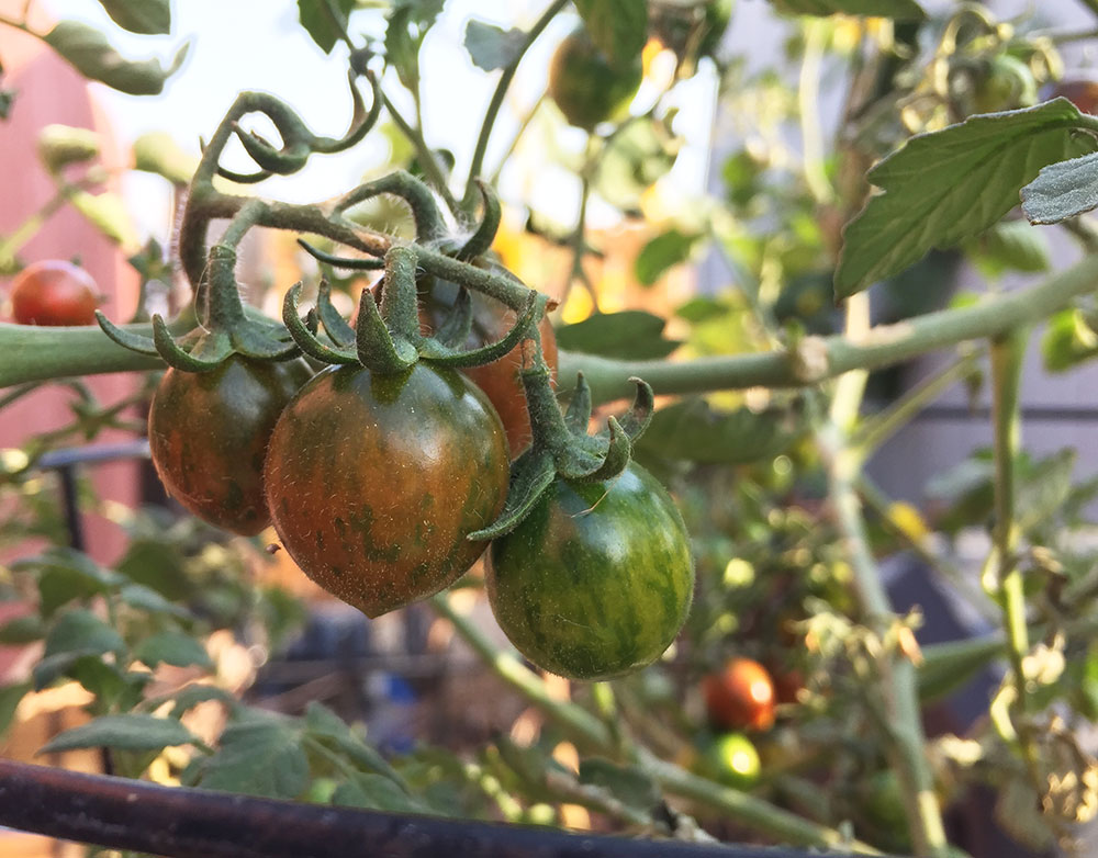 hybrid cherry tomatoes