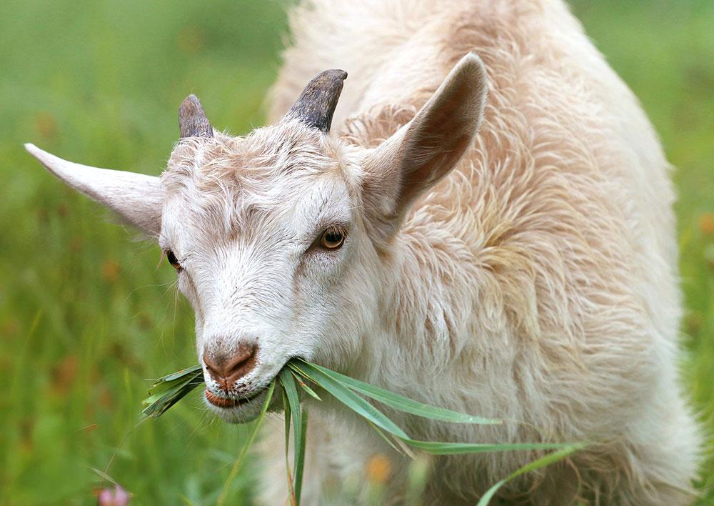 Raising goats on a farm
