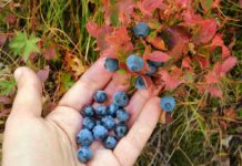 Foraging wild edibles