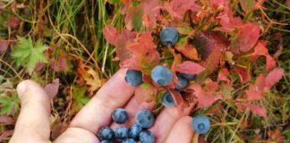 Foraging wild edibles