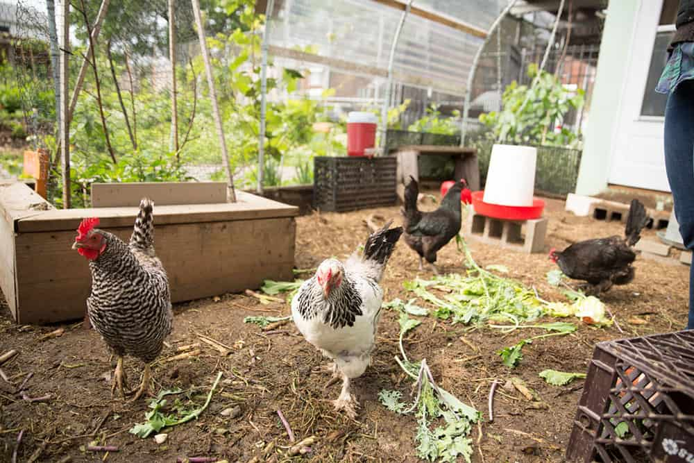 Chickens at Edible Schoolyard NYC